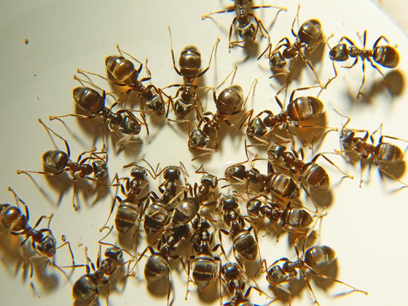 Ants Lake Havasu City