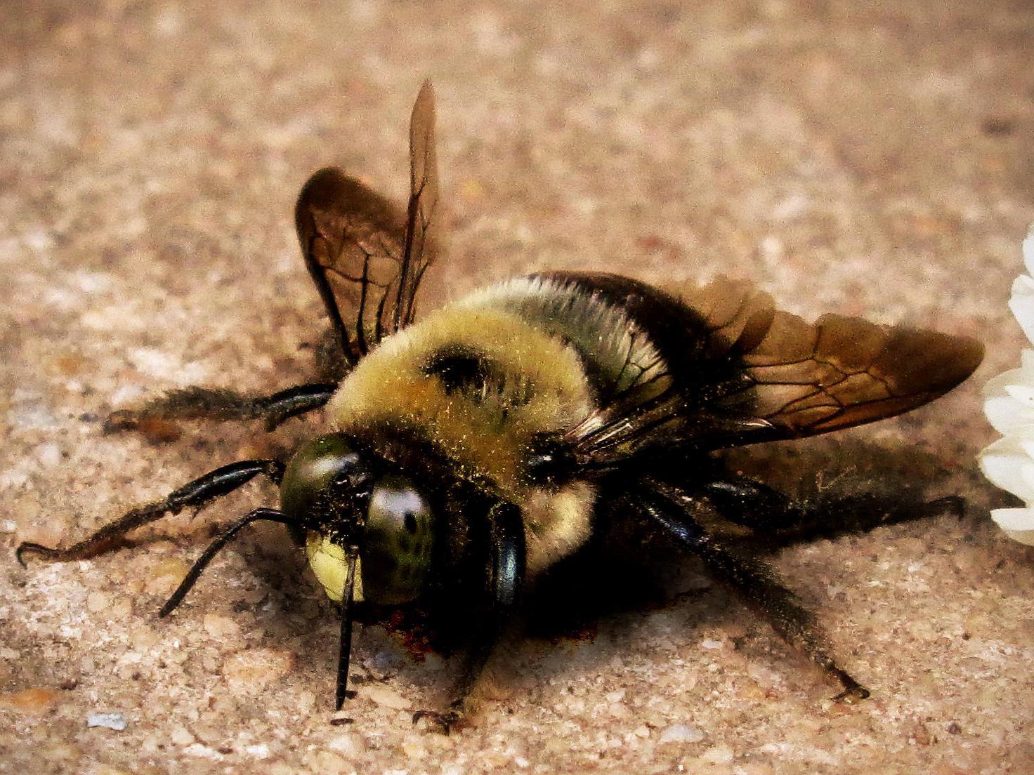 Bee Removal Lake Havasu City