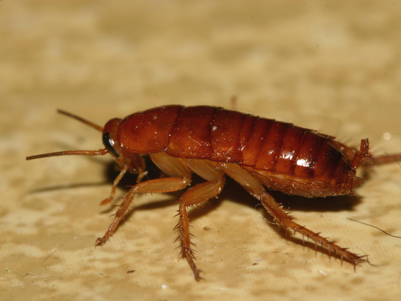 Cockroach Exterminator Lake Havasu City