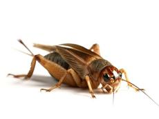 crickets lake havasu city