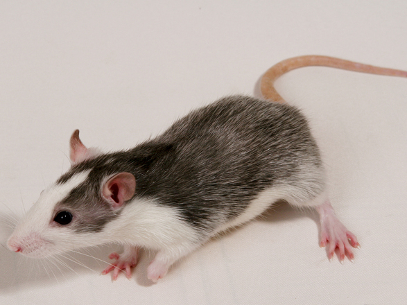 Rat Exterminator Lake Havasu City
